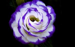 Картинка цветок, краски, лепестки, бутон