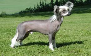 Картинка поляна, собака, Китайская хохлатая собака