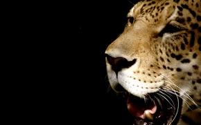 Обои леопард, морда