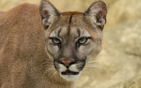 Картинка кошка, взгляд, морда, пума, горный лев, кугуар