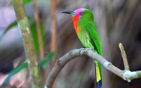 Картинка colorful, bird, wildlife, bee-eater, red bearded