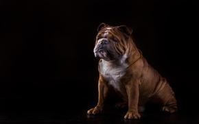 Картинка собака, бульдог, чёрный фон, английский бульдог