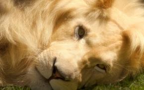 Картинка взгляд, морда, фотошоп, хищник, лев