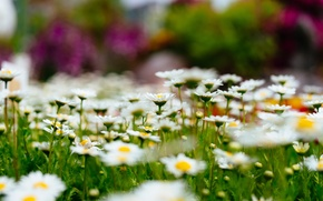 Картинка цветы, природа, поляна, Ромашки, боке