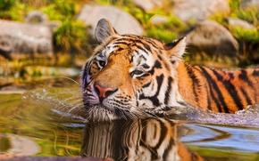 Картинка взгляд, вода, макро, тигр, животное, хищник, плавание