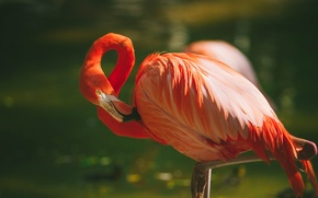 Обои перья, фламинго, птица