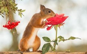 Картинка цветок, ягоды, дерево, животное, роза, белка, рябина, грызун
