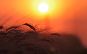 Картинка пшеница, поле, небо, солнце, свет, закат, природа, растение, колосья