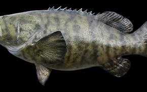 Картинка GOLIATH, GROUPER, FISH