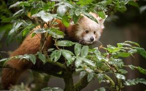 Картинка листья, ветки, красная панда, firefox, малая панда