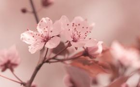 Картинка цветы, розовое, макро, весна, сакура
