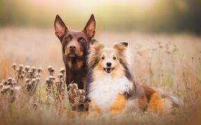 Картинка поле, собаки, свет, природа, пара, щенок, обои от lolita777, друганы