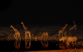 Картинка ночь, жираф, Африка, носорог, водопой