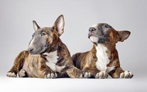 Картинка собаки, фон, бультерьеры
