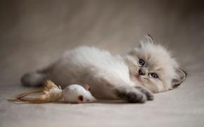 Картинка кошка, котенок, фон, игрушка, игра, пушистый, мышь, мышка, милый, лежит, прелесть, мордашка, играет, фотосессия, сиамский, …