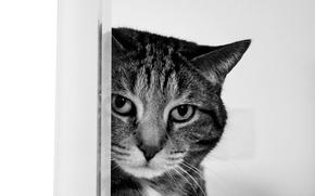 Обои кот, взгляд, Черно-белый