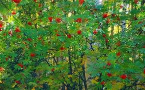 Обои ягоды, береза, рябина, деревья, гроздь, листья