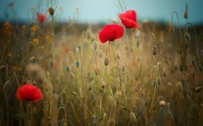 Обои поле, цветы, маки