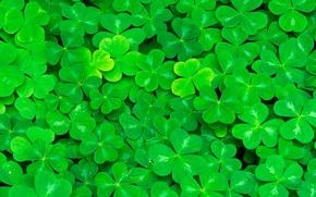 Картинка зелень, листья, клевер, сочная