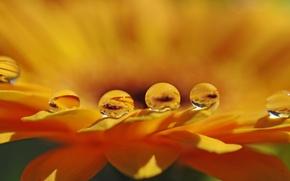 Картинка цветок, вода, капли, макро, лепестки