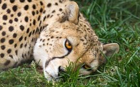 Картинка кошка, трава, взгляд, морда, гепард