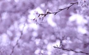 Картинка макро, цветы, вишня, веточка, ветви, нежность, весна, размытость, сакура, белые, цветение