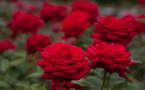 Картинка розы, боке, красные розы