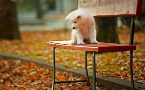 Картинка скамейка, щенок, акита-ину, осенний парк