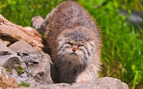 Картинка камни, смотрит, манул, МОРДА, палласов кот