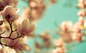 Картинка макро, цветы, ветки, природа, ветви, весна, Магнолия
