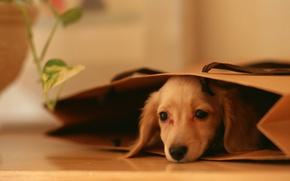 Картинка глаза, взгляд, собака, пакет, пес, щенок, лежит