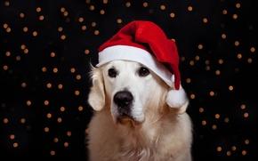 Картинка красный, новый год, рождество, собака, черный фон, колпак, боке, ретривер, обои от lolita777