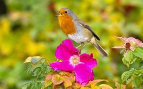 Обои цветок, шиповник, малиновка, зарянка, птица