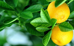 Обои fruits, leaves, oranges, апельсины