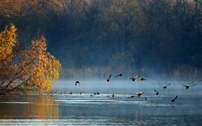 Картинка осень, лес, птицы, озеро, утки