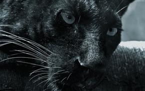 Обои морда, смотрит, пантера