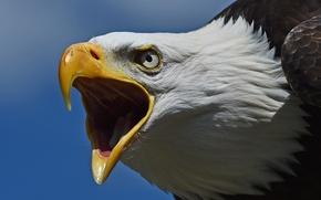 Картинка птица, хищник, голова, клюв, ястреб, Белоголовый орлан
