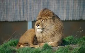 Картинка трава, глаза, взгляд, морда, отдых, лев