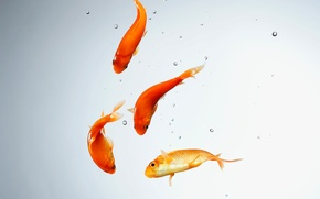 Картинка вода, рыбки, аквариум, золотая рыбка