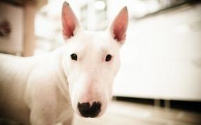 Картинка белый, морда, собака, бультерьер, булька
