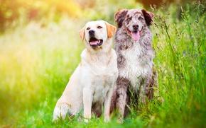 Картинка зелень, поле, язык, собаки, лето, трава, природа, луг, пара, двое, друзья, австралийская овчарка, аусси