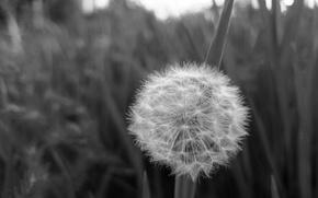 Картинка небо, трава, одуванчик, крупный план черно-белое фото