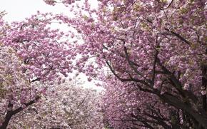 Картинка деревья, вишня, сакура, Парк, цветение