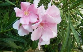 Картинка цветок, оранжерея, азалия