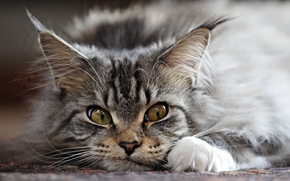 Картинка кот, серый, ушки, кисточки