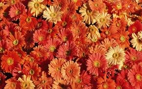 Обои цветочный ковер, красота, хризантемы