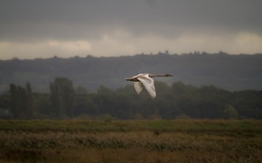 Картинка полет, природа, птица, лебедь