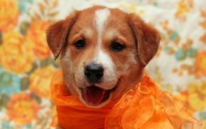 Картинка фон, собака, рыжий, щенок, шарфик, фотосессия, обои от lolita777