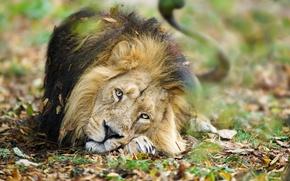 Обои природа, лев, зверь