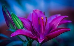 Картинка макро, лилия, лепестки, тычинки